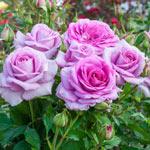 Violet's Pride™ Floribunda Rose
