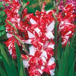 Zizane Gladiolus