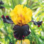 Vigilante Tall Bearded Iris