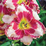 Dare to Love Reblooming Daylily
