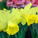 Pistachio Daffodil