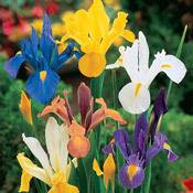 Iris Planting and Growing Tips