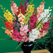 Deluxe gladiolus