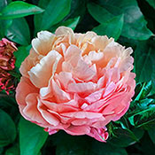 Peony Planting and Growing Tips