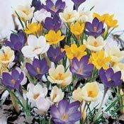 Crocus Planting and Growing Tips