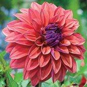 Dahlia Planting and Growing Tips