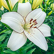 Lily Planting and Growing Tips