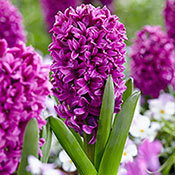 Hyacinth Planting and Growing Tips