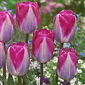 Tulip Planting and Growing Tips