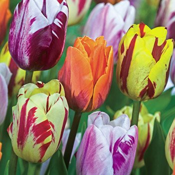Flaming Beauties™ Tulip Mixture