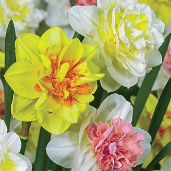 Double Delight<sup>™</sup> Daffodil Mixture