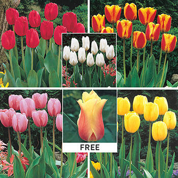 WOW!<sup>®</sup> Perennial Tulip Collection