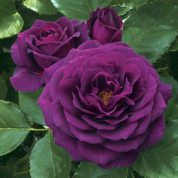 Ebb Tide<sup>™</sup> Floribunda Rose