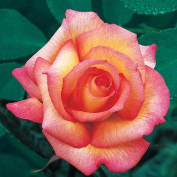 Sheila's Perfume Floribunda Rose