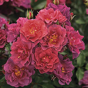 Cinco de Mayo<sup>™</sup> Floribunda Rose