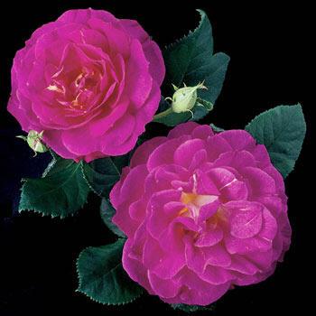 Outta the Blue<sup>™</sup> Shrub Rose