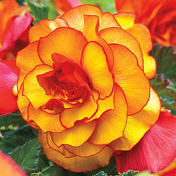 Yellow-Red Picotee Begonia