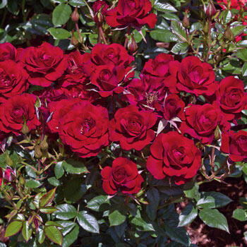 Ruby Ruby<sup>™</sup> Miniature Rose