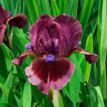 Cat's Eye Dwarf Bearded Iris