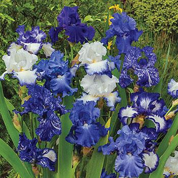Heavenly Blues Iris Mixture Super Sak<sup>®</sup>