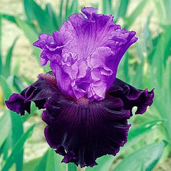 Dangerous Liaison Iris