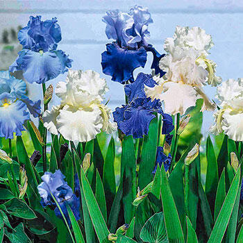 Cool Blue Bearded Iris Mixture