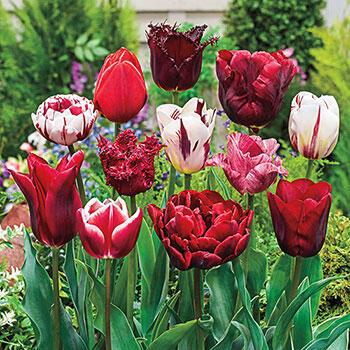 Variatie Red<sup>™</sup> Tulip Mixture