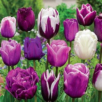 Enchanted Evening<sup>™</sup> Tulip Mixture