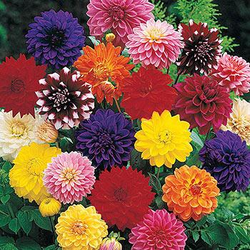 Decorative Dahlia Mixture