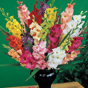 Deluxe Dutch Gladiolus Mixture