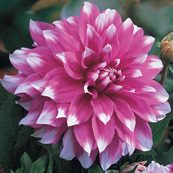 Ultimate Dinnerplate Dahlia Collection | Brecks.com