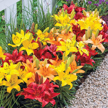 Sunset Carpet Border Lily<sup>™</sup> Mixture