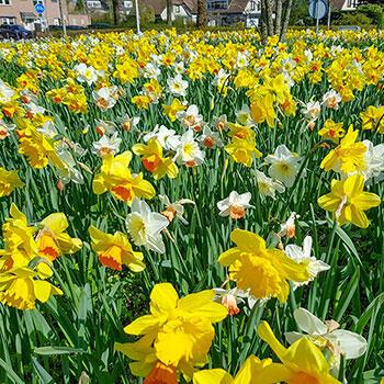 Shade Daffodil Mixture