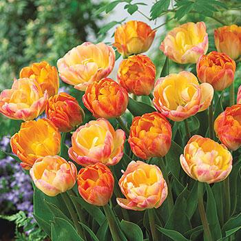 Peach Melba Tulip Duet<sup>™</sup>