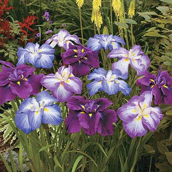 Japanese Iris Mixture Super Sak<sup>®</sup>
