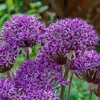 Violet Beauty Allium