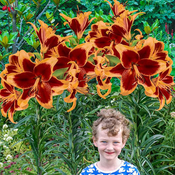 Red Morning Lily Tree<sup>®</sup>