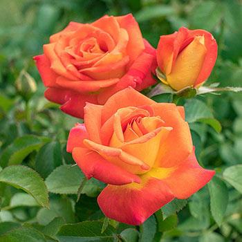 Burst Of Joy<Sup>™</Sup> Floribunda Rose