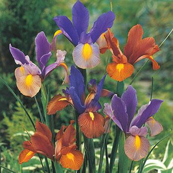 Tiger Dutch Iris Mixture