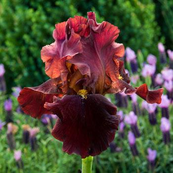 Bernice's Legacy Bearded Iris