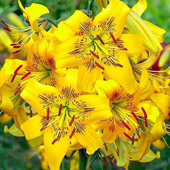 Yellow Bruse Tiger Lily