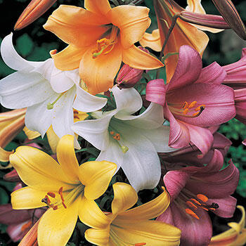 Trumpet Lily Mixture