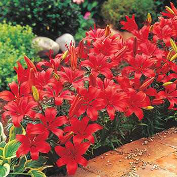 Red Carpet Border Lily<sup>™</sup>