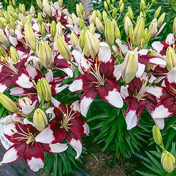 Tiny Padhye Carpet Border Lily<sup>™</sup>