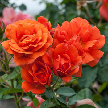 Above All<sup>™</sup> Climbing Rose