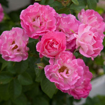 Cupid's Kisses<sup>®</sup> Miniature Rose