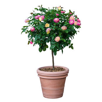 Scentimental<sup>™</sup> Tree Rose