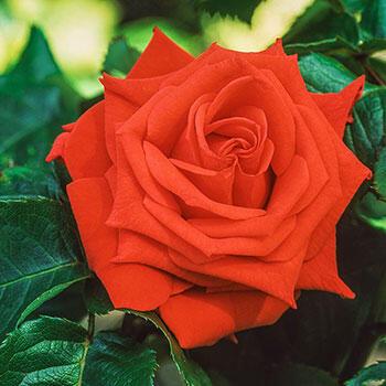 Tropicana Hybrid Tea Rose