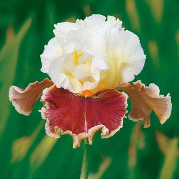 Lightheaded Bearded Iris