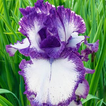 Presby's Crown Jewel Bearded Iris